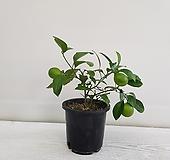 오렌지 레몬나무/열매/공기정화식물/인테리어/반려식물|