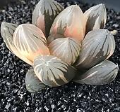 옵튜사금(하월시아)-8|haworthia