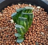 옥선금.미니종.하월시아|haworthia