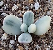 방울복랑금(대형종)|Cotyledon orbiculata cv variegated