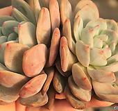 오렌지먼로2두특대(수입/랜덤)|Echeveria Monroe(Orange)