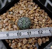 위트버젠스 枝紋(지문) (Conophytum wittegergense)|Conophytum Wittebergense