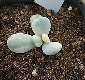 (11月)원종방울복랑(금)(뿌리없음)72|Cotyledon orbiculata cv