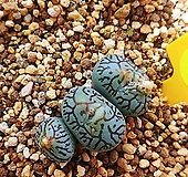 위트버젠스11147|Conophytum Wittebergense