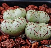 위트버젠스-15|Conophytum Wittebergense
