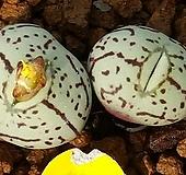 C.wittebergense(위트버젠스)|Conophytum Wittebergense