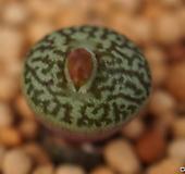 위트버젠스 당초문(唐草紋) (CO100)|Conophytum Wittebergense