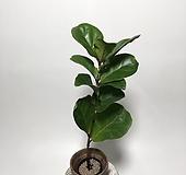 외목대 떡갈고무나무 떡갈나무 고무나무 공기정화식물|Ficus elastica