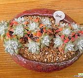 목대 화이트그리니 17두자연|Dudleya White gnoma(White greenii / White sprite)