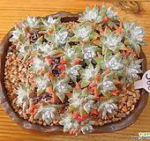 묵은목대 화이트그리니 30두자연|Dudleya White gnoma(White greenii / White sprite)