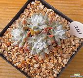 목대 화이트그리니 자연|Dudleya White gnoma(White greenii / White sprite)