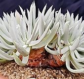 천녀검특대품(자연군생)|Titanopsis calcarea