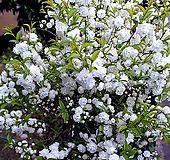 만첩옥매(외목흰꽃대품/1)-동일품배송|