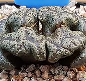 코노피튬 펠루시덤 (111507)|Conophytum