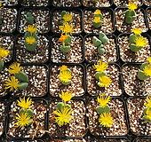 특가- C. bilobum (빌로붐) 랜덤 뿌리무|
