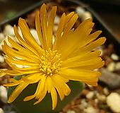 C. bilobum (빌로붐렌덤뿌리무)|
