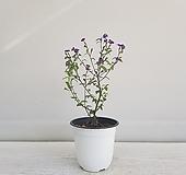 브로왈리아/공기정화식물/인테리어/온누리 꽃농원 