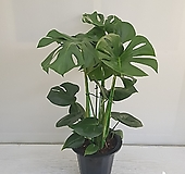 몬스테라/공기정화식물/인테리어/온누리 꽃농원 