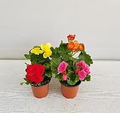 꽃베고니아/공기정화식물/온누리 꽃농원 Begonia