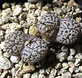 코노피튬 펠루시덤 네오할리|Conophytum