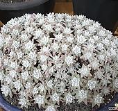 화이트그리니 왕대품(200두이상)-35cm|Dudleya White gnoma(White greenii / White sprite)