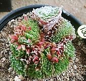 거미줄바위솔철화11181|Sempervivum arachnoideum tomentosum