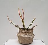 파티오라금 선인장 +바구니  인테리어 화분 식물 