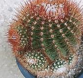 황채옥선인장11197 Haworthia truncata