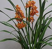 심비디움 마조리카.샤넬(황금노랑색)고급스러운색.은은향기(아주좋은향).잎촉많은 상품.|