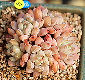 토리마넨시스 실생|Echeveria tolimanensis