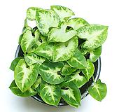 싱고니움 싱고늄  수경재배 수경식물 플랜테리어 모던수경재배|