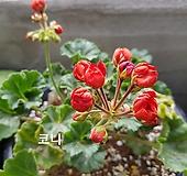 코니(튤립제라늄)|Geranium/Pelargonium