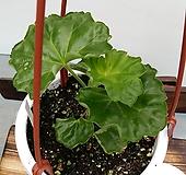 엠마프론뱅스트보(제라늄9종)|Geranium/Pelargonium