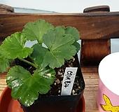 데네블라(제라늄)|Geranium/Pelargonium
