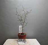 마오리소포라 소포라 수입식물 야생화 공룡꽃식물원 60|