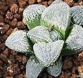그랑프리(하월시아)|haworthia
