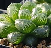 청초(하월시아)|haworthia