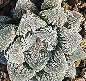 옥용(하월시아)|haworthia