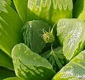 웃디라이트(하월시아)|haworthia