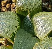 골든덴버(하월시아)|haworthia