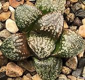 환엽농백운픽타 25-21 Haworthia picta