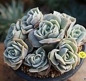러블리로즈 Lovely Rose