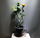 레몬나무 레몬 과실수 공룡꽃식물원 13|