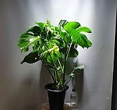 몬스테라델리시오사 대품 몬스테라 공룡꽃식물원 15|
