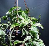 무늬몬스테라오레우스 단품 공중식물 공룡꽃식물원|