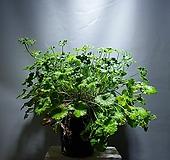애플제라늄 제라늄 묵은둥이 대품 공룡꽃식물원 단품1번|Geranium/Pelargonium