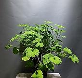 애플제라늄 제라늄 단품 1번 공룡꽃식물원|Geranium/Pelargonium