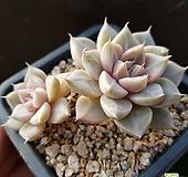 토리마넨시스(2)ㅡ묵은둥이 Echeveria tolimanensis