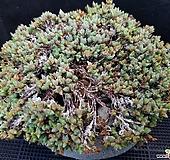 원종벽어연완전묵은둥이군생1215-4 Corpuscularia lehmanni