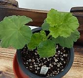 오덴시외네오노라(제라늄)|Geranium/Pelargonium